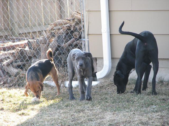 Dynamite Danes Family Album #2 - Puppies3%2B021.jpg