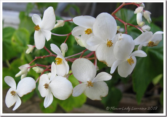 01-18-scented-begonia