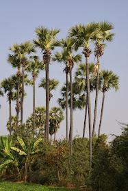 palmier à sucre.JPG