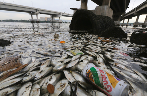 Dead fish float on the edge of Guanabara Bay, a part of which is the Rio 2016 Olympic Games sailing venue. Photo: Mario Tama / Getty Images