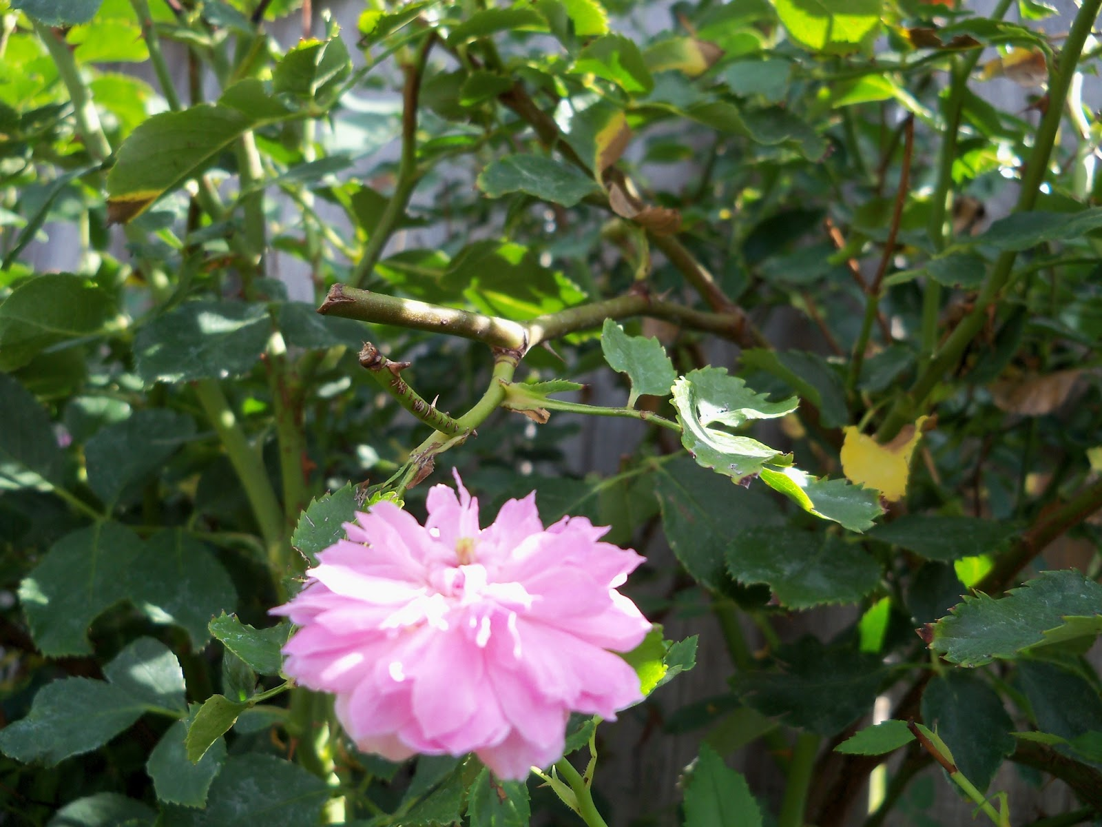 Gardening 2011 - 100_9968.JPG