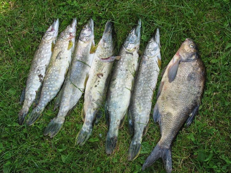 Ryby z Jeziora Solińskiego