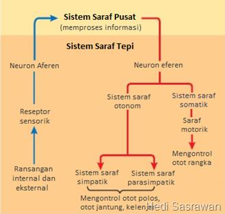 Sistem saraf tepi pada manusia