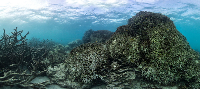 Bleached Coral off Lizard Island in May 2016. Photo: The Ocean Agency