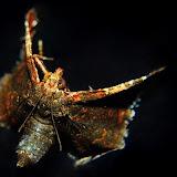 Pyralidae : Pyralinae : peut-être Persicoptera compsopa MEYRICK, 1887. Umina Beach (NSW, Australie), 25 octobre 2011. Photo : Barbara Kedzierski