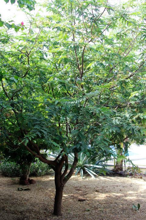 le tamarinier (Tamarindus indica)  - Page 5 _MG_1495