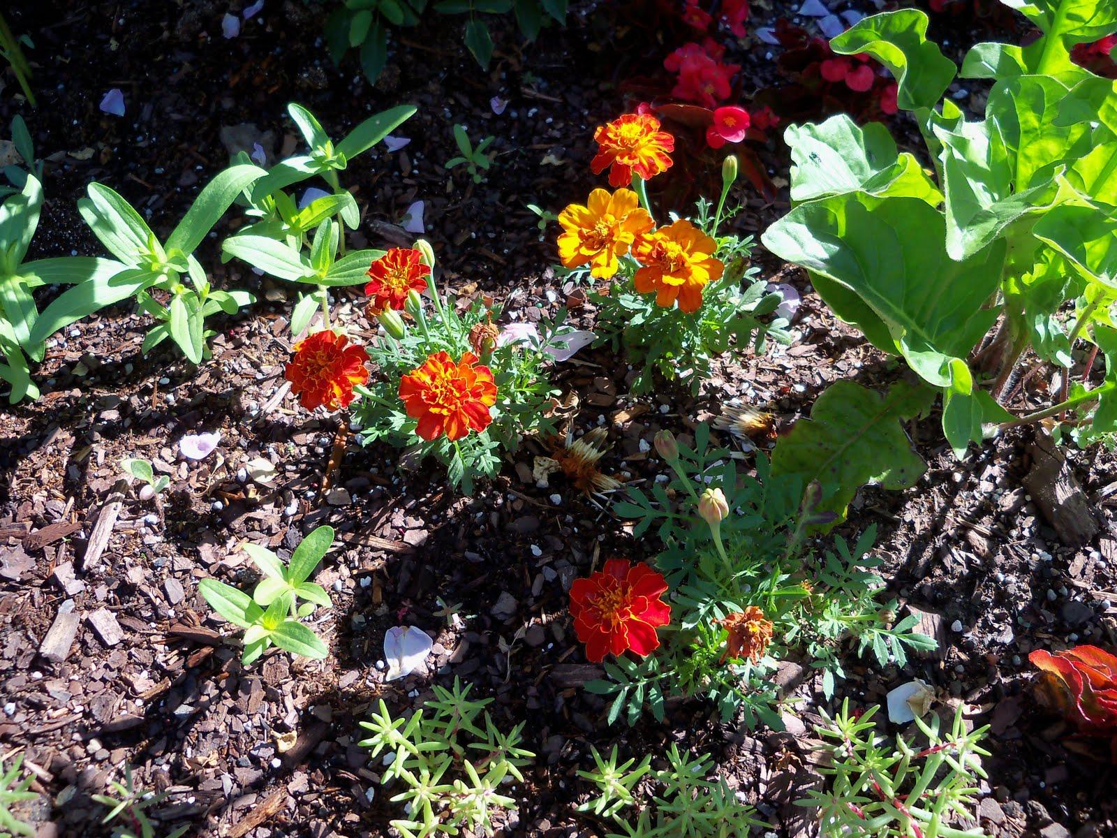Gardening 2010 - 101_1258.JPG
