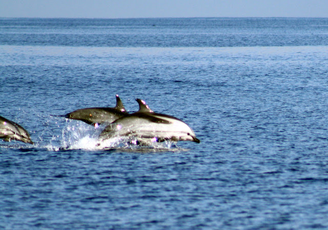 Esses magnificos Cetacios -  Cachalotes - Golfinhos etc IMG_1388