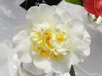 白色 唐子咲き 小輪