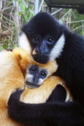 Image of Love Story of Gibbons are Truly Monogamous