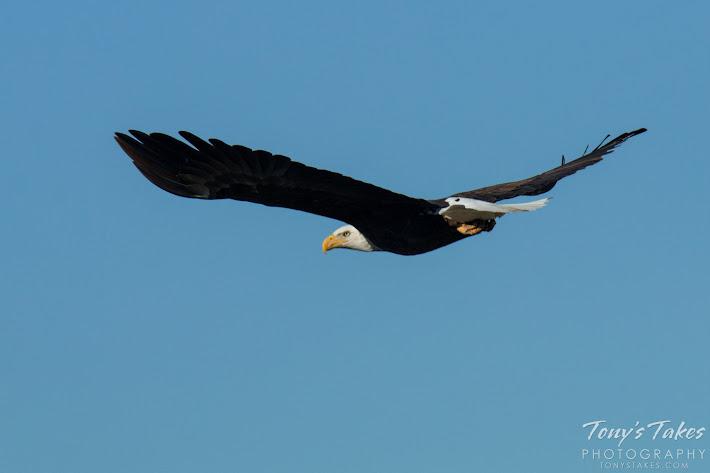 Bald Eagle male takes flight. 6 of 6. (© Tony's Takes)