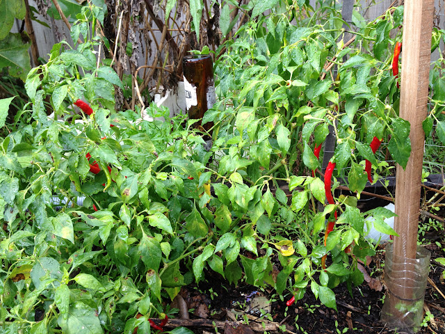 chilli peppers on bush