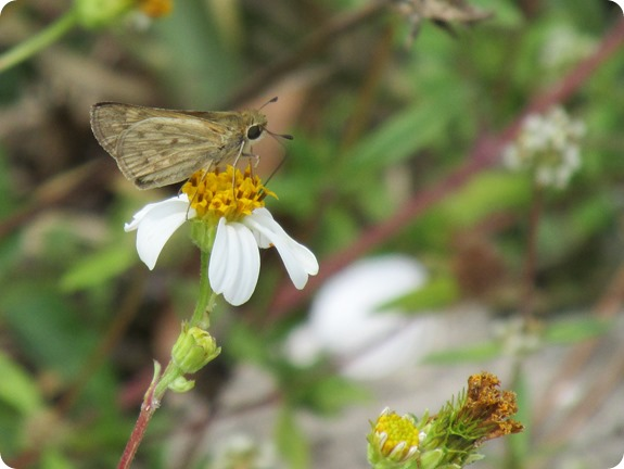 4  Skipper Butterfly