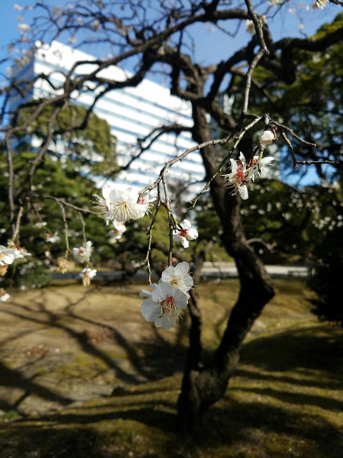 sakura japan chuo tokyo flowers