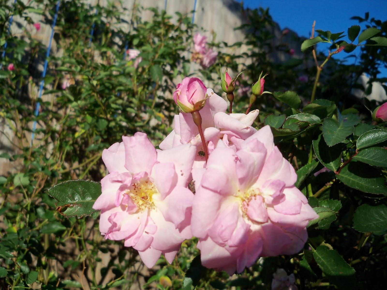 Gardening 2013 - 115_5448.JPG
