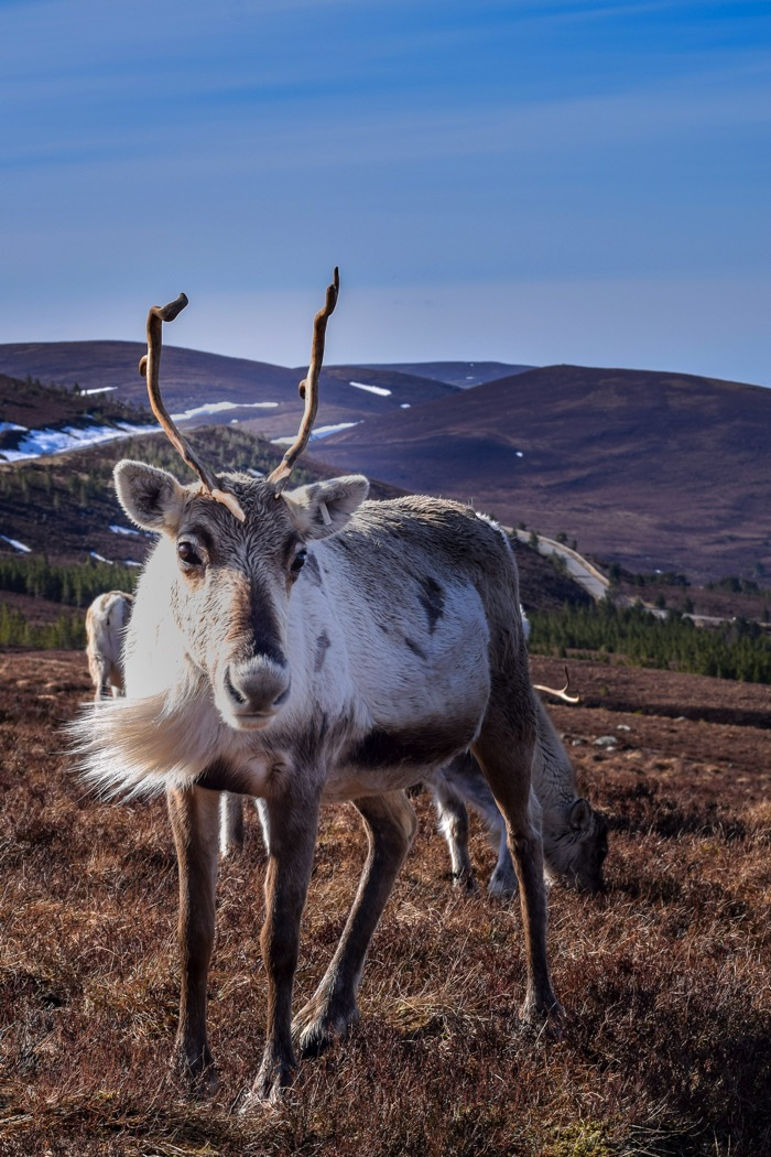 Things to do in Scotland includes feeding Reindeer