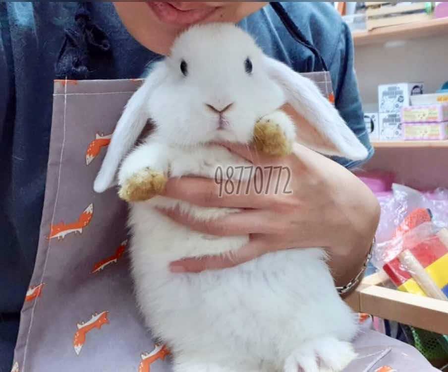 Rabbits For Sale In Singapore