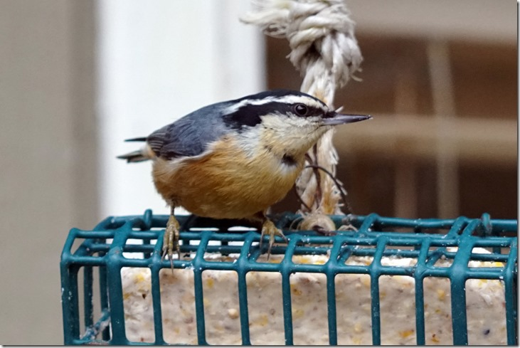 lopez red breasted nuthatch 122417 00000