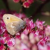Coenonympha pamphilus (Linnaeus, 1758). Les Hautes-Lisières (Rouvres, 28), 9 septembre 2015. Photo : J.-M. Gayman
