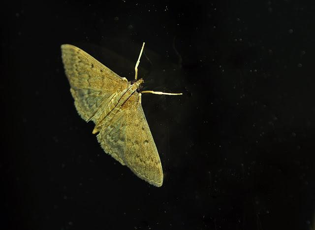 Crambidae : Pyraustinae : Herpetogramma licarsisalis WALKER, 1859. Umina Beach (New South Wales, Australie), 26 mars 2011. Photo : Barbara Kedzierski