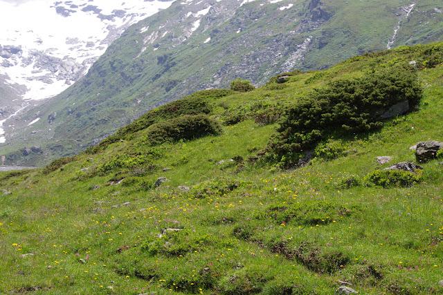 Biotope de Colias. Alp Muot Selvas, Val Fex, 2100 m (Engadine, Grisons, CH). 14 juillet 2013. Photo : J.-M. Gayman