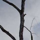 Pic ouentou (Dryocopus lineatus). Pointe Maripa (Riv. Comté), 9 novembre 2012. Photo : J.-M. Gayman