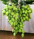 ذول العنب
