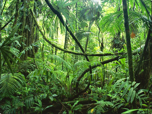 Lianas in Interior of Lowland Rainforest, La Selva Biological Station, Costa Rica.jpg