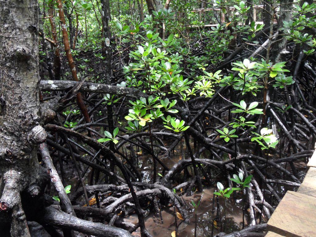 Jozani ormanında su üzerinde yetişen ağaçların kökleri