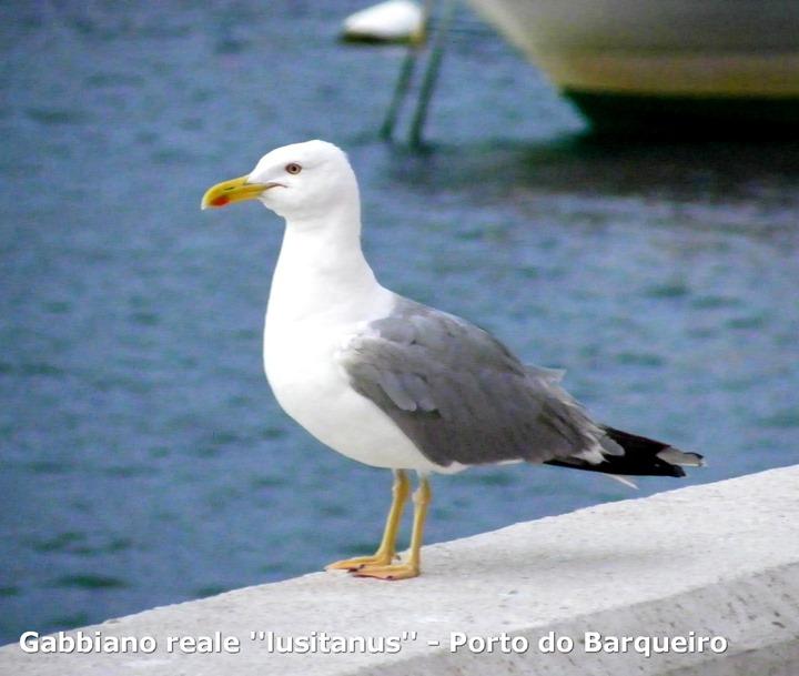 Gabbiano reale ''lusitanus'' - Porto do Barqueiro