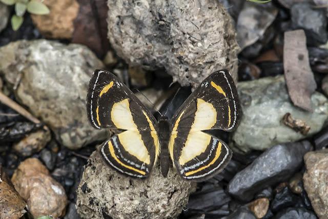 Baeotis bacaenis Hewitson, 1874. Cascade del Angel, Chivor, 1300 m, près de Santa María en Boyacá, (Boyacá, Colombie), 4 novembre 2015. Photo : B. Lalanne-Cassou
