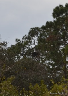 Bald Eagle and Nest