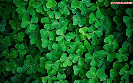 20 Hình ảnh cỏ ba lá đẹp nhất thế giới full HD