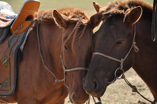 Mongolian horses- they are shorter and stockier than Western horse, but very fast and strong.