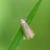 Crambidae : Crambinae : Agriphila tristella ([DENIS & SCHIFFERMÜLLER], 1775). Les Hautes-Lisières (Rouvres, 28), 8 juillet 2012. Photo : J.-M. Gayman