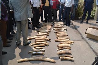 Des pointes d'ivoire retrouvées mercredi 22 juillet 2015 au domicile d'un sujet guinéen dans la commune de Barumbu, à Kinshasa. Ph. Radio Okapi/Ascain Zigbia