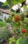 Himbeeren und Blick auf den Garten und StallIMG_0716.JPG