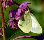 Mose-høsommerfugl, hun, Sverige. Colias palaeno