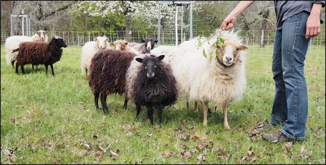die Schafhalterin hält den neugierigen Schafen einen Obstbaumzweig hin.