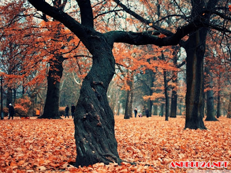 Cây lá vàng mùa thu gợi nỗi nhớ