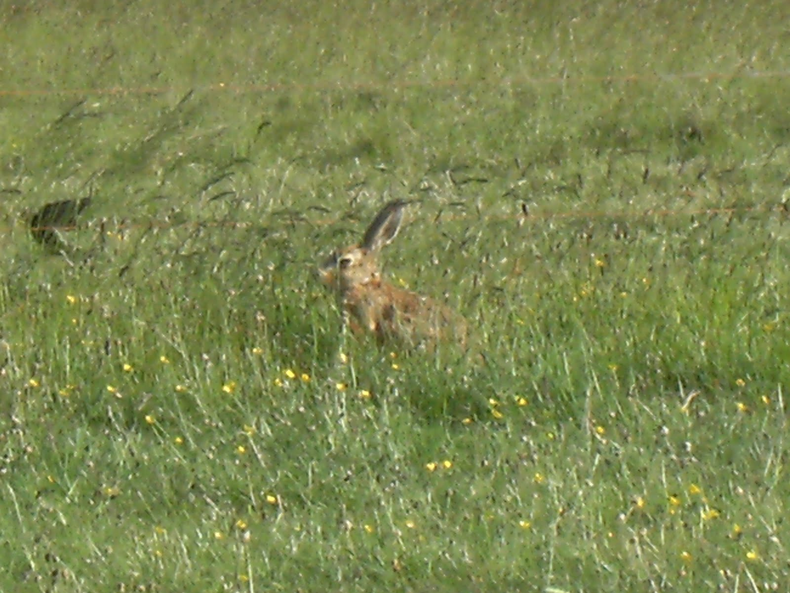 DSCF0887 Brown hare at Stonehenge