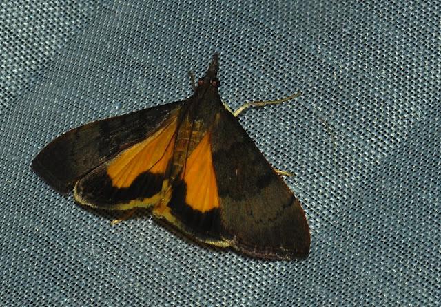 Crambidae : Pyraustinae : Uresiphita ornithopteralis GUÉNÉE, 1854. Umina Beach (N. S. W., Australie), 30 décembre 2011. Photo : Barbara Kedzierski