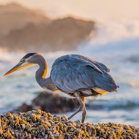 Great Blue Heron by Tomas Rupp - Animals Birds ( water, nature, wildlife, ocean, heron, animal,  )