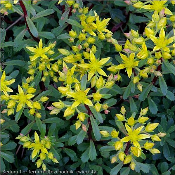 Sedum floriferum flower and leaf - Rozchodnik kwiecisty kwiaty i liście