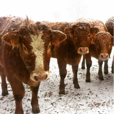 cows, winter, hiver, creuse, Limousin, nature, France, countryside
