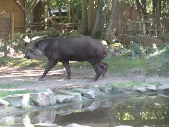 2017.06.17-069 tapir