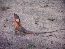 Frilled-Neck Dragon, Carmor Plains