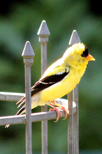 American goldfinch looking for a mate