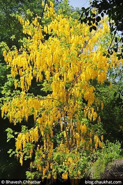 Amaltas AKA Cassia fistula, Golden Shower Tree, Garmalo, Bandar Lathi, Bahava, Sunari, Aragvadha, Chaturangula, Kritamala, Suvarnaka