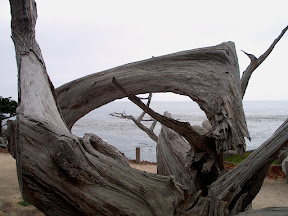 The twisted remains of a cypress tree, 17 Mile Drive